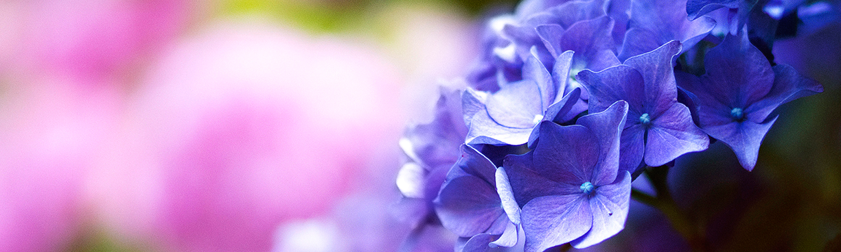 purple flowers in the foreground of a shot of multiple hydrangeas